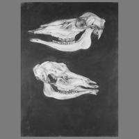 Hertenschedel-70x100-grafiet-op-papier